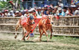 Karapan Sapi - Bull Race